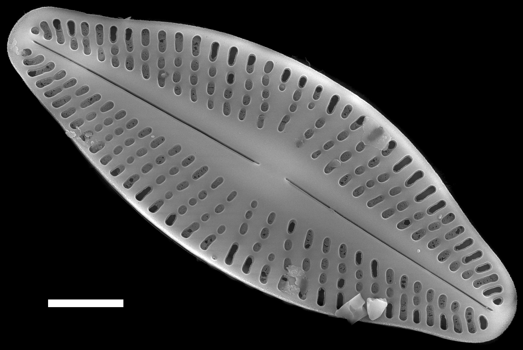 Glossary Term Raphe Diatoms Of The United States