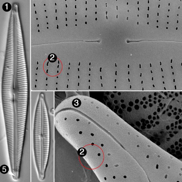 Encyonopsis Guide2