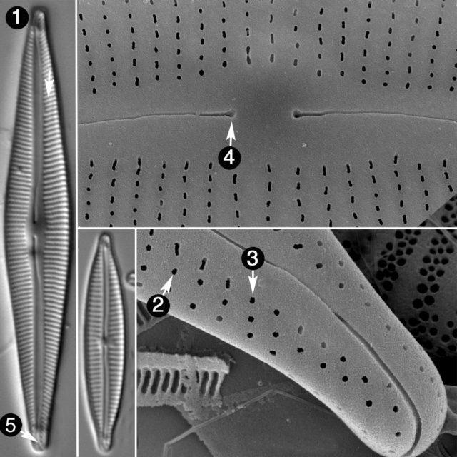 Encyonopsis Guide
