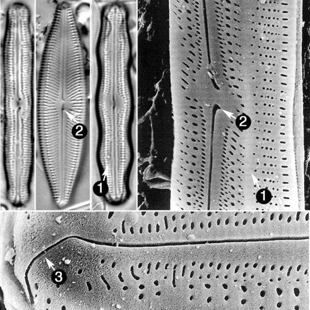 Neidiopsis Guide
