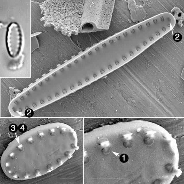 Pseudostaruosiropsis Guide