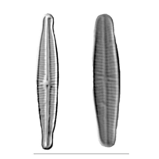 Achnanthidium Iconic