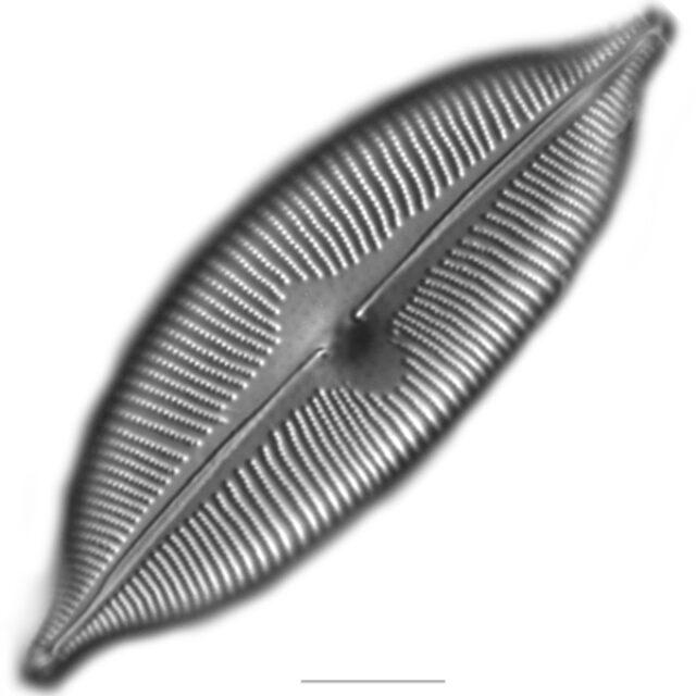 Cymbopleura Iconic