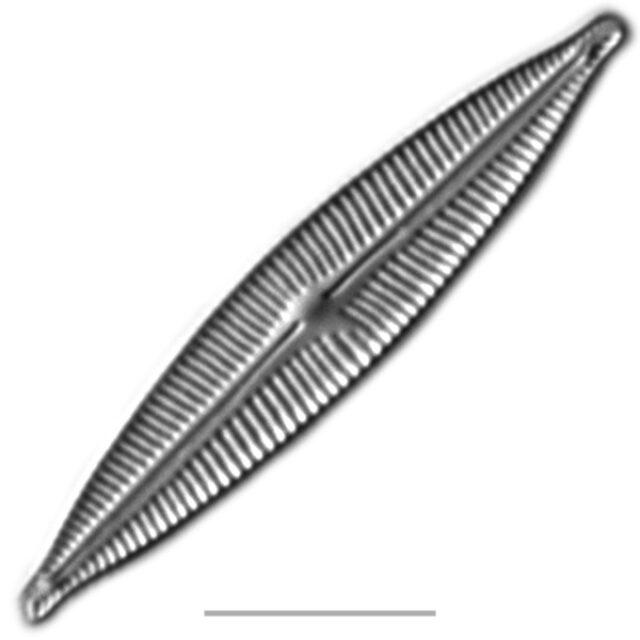 Encyonopsis Iconic  Aac