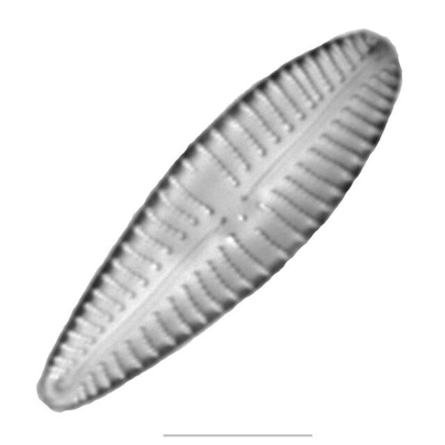 Gomphonema Iconic