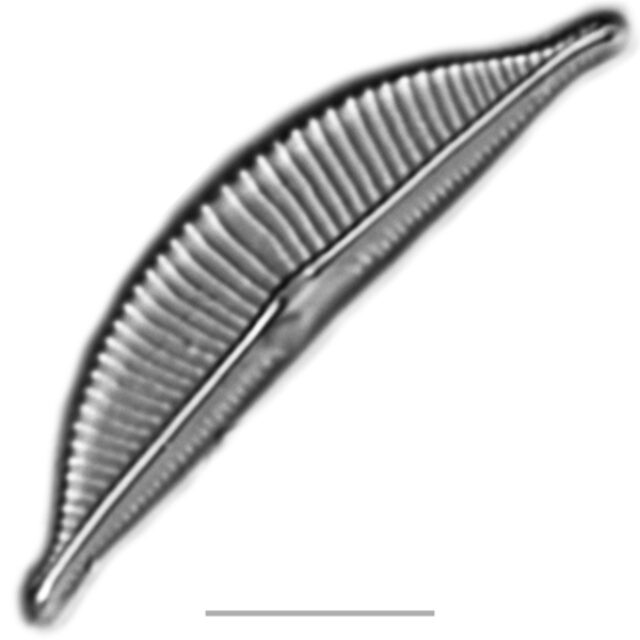 Halamphora Iconic  Aac