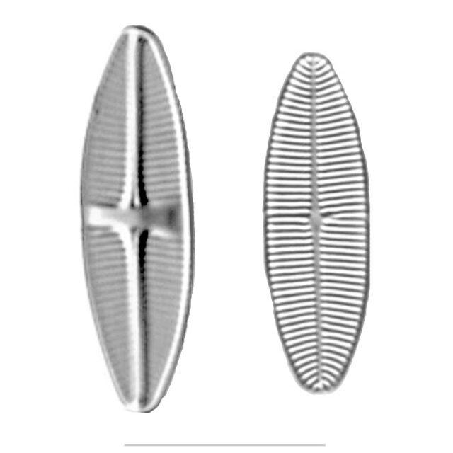 Lemnicola Iconic