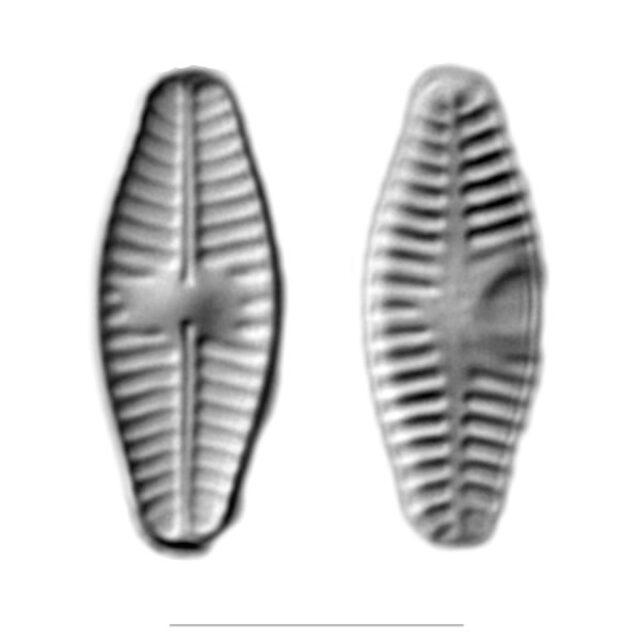 Planothidium Iconic