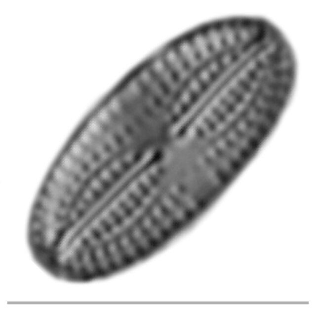 Pseudofallacia Iconic Ac