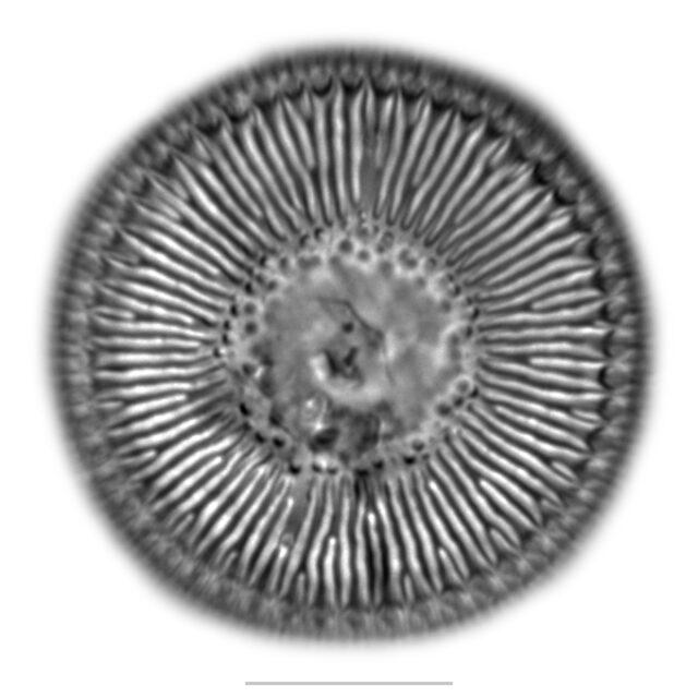 Puncticulata Iconic