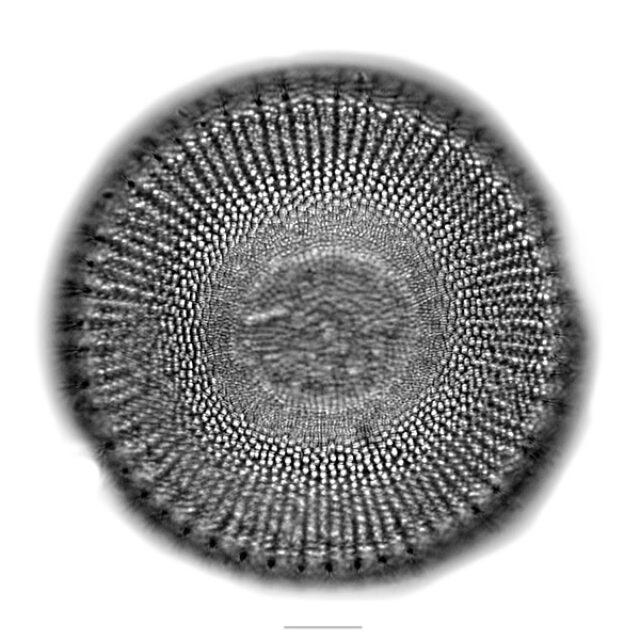 Stephanodiscus Iconic