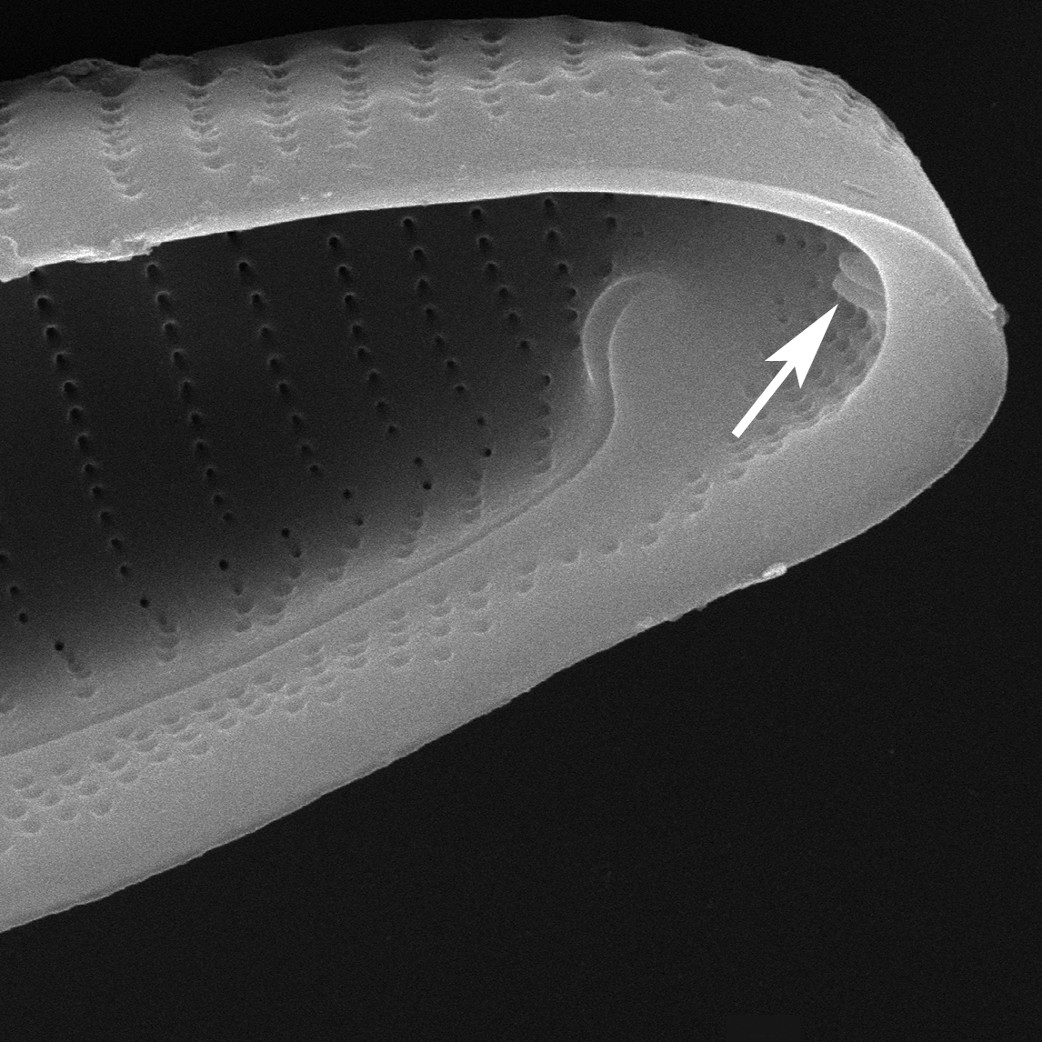 E Macroglossa Rimoportula Int Copy