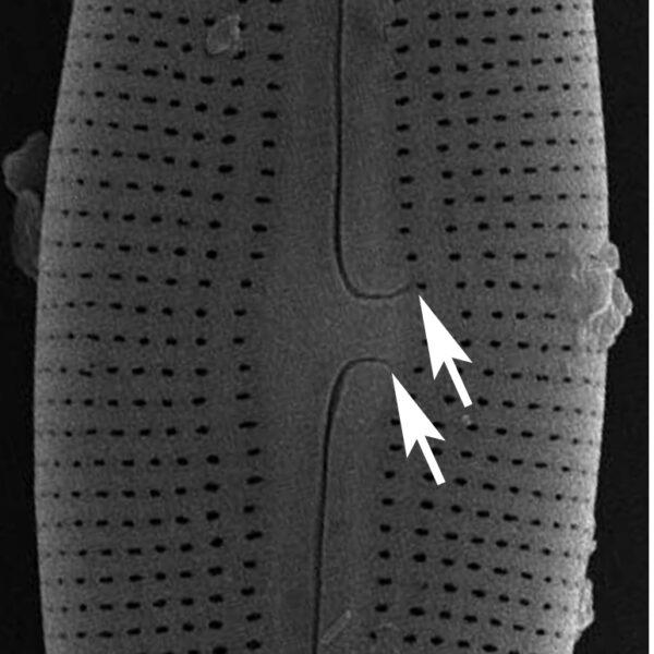 Muelleria Proximal