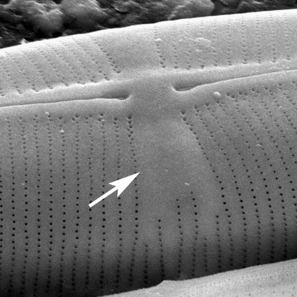 Staurophora Midvalve  Sem Copy