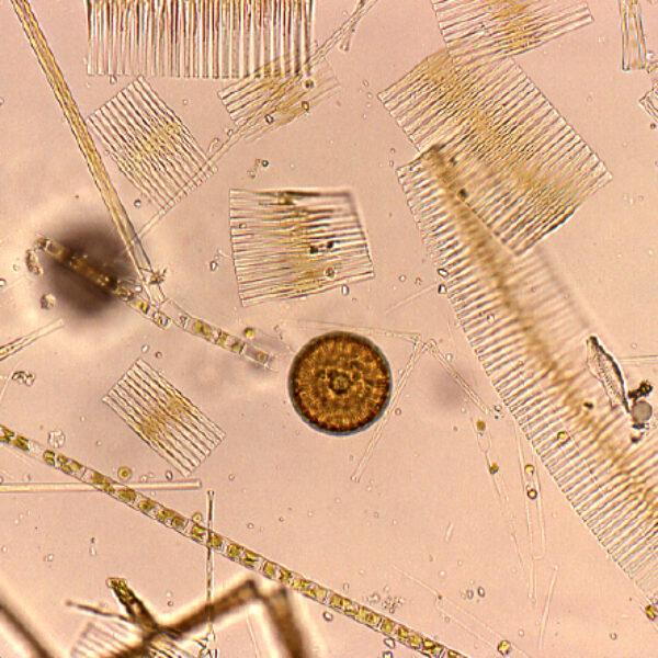 Plankton Edlund