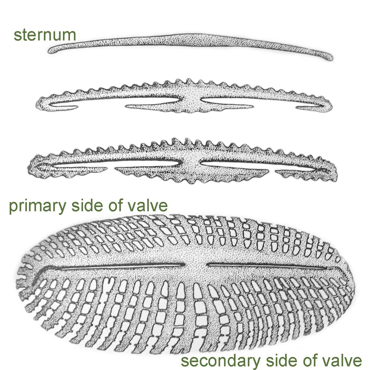 Valve Morphogenesis 1
