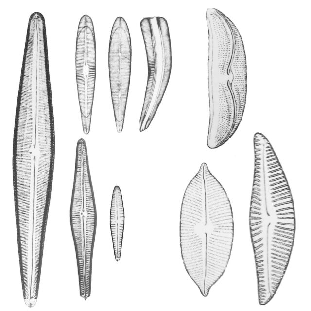Asymmetrical Biraphid
