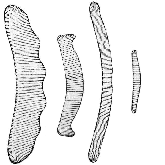 Eunotiod