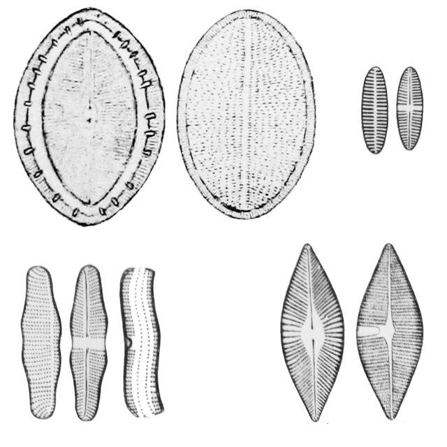 Monoraphid