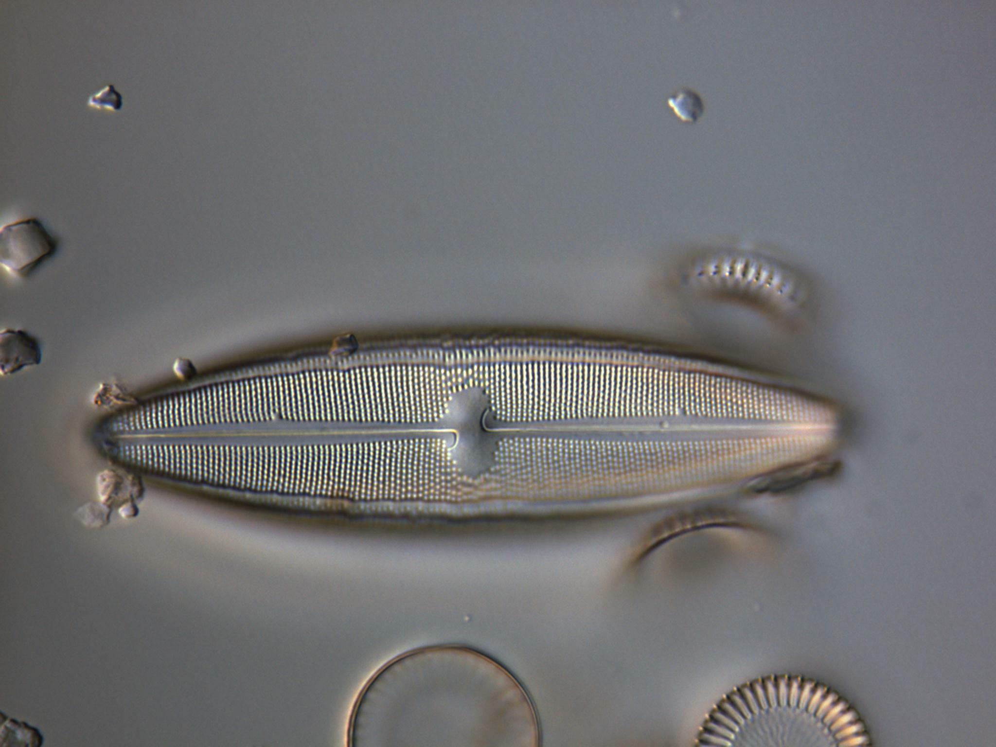 67 5 N iridis var ampliatum CIRCLE copy