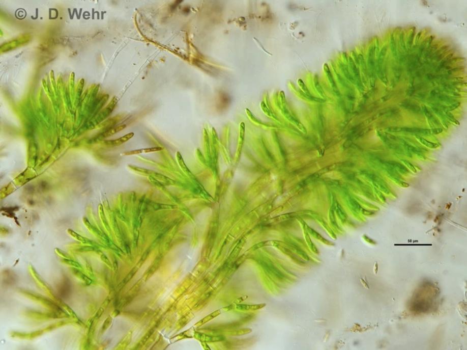 Chaetophora Incrassata Jwehr