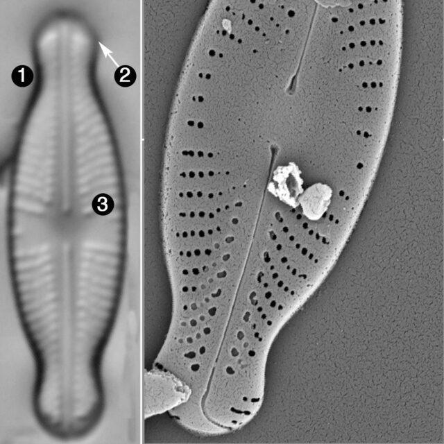 Sellaphora javanica guide2