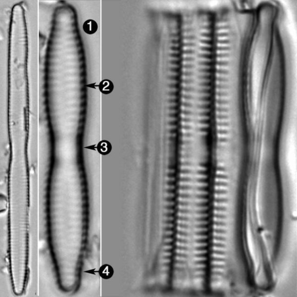 Fragilaria Mesolepta Guide