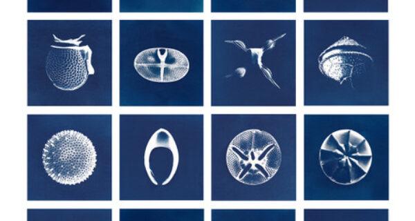 Cyanotypes Inga Lisa Middleton