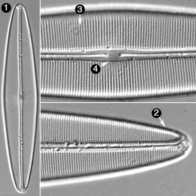 Navicula Cuspidata V Obtusa Guide