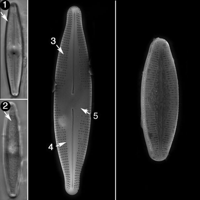 Nupela Poconoensis Guide