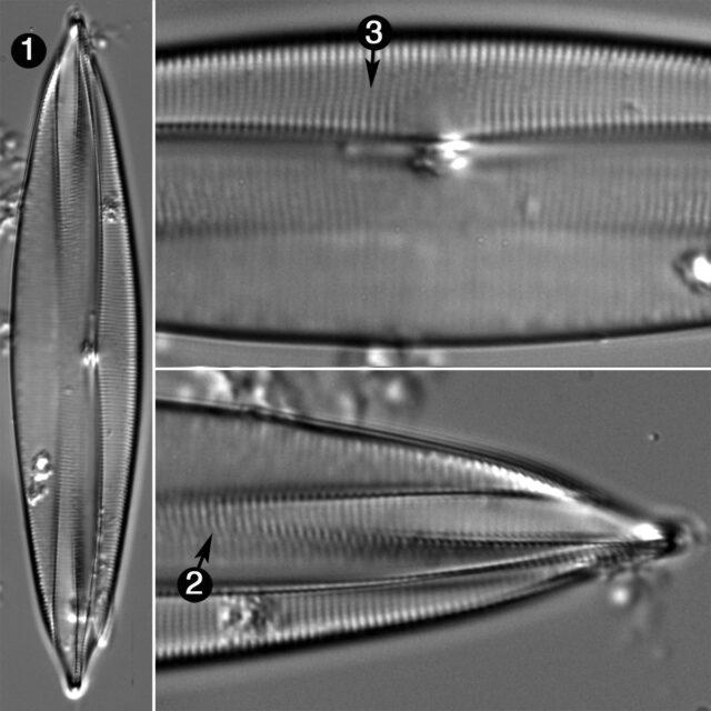 Plagiotropis Lepidoptera V  Prob Guide