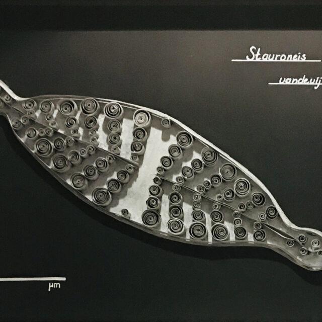 Stauroneis vandervijveri