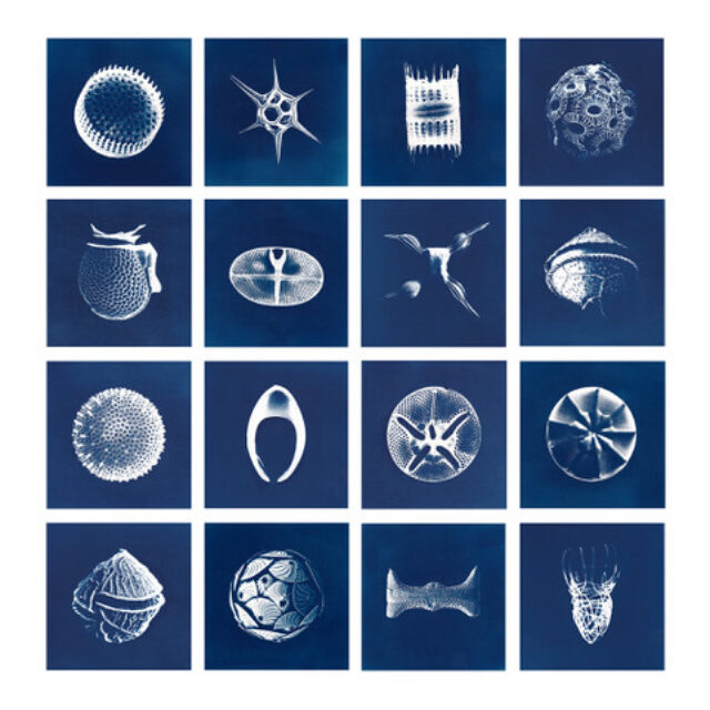 Cyanotypes Inga Lisa Middleton