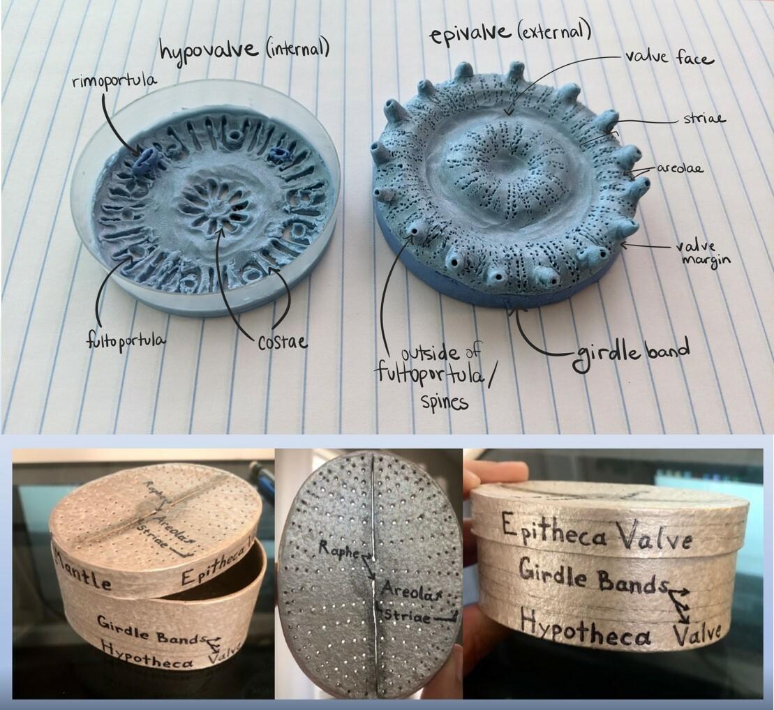 Diatom models of Discostella and Cavinula
