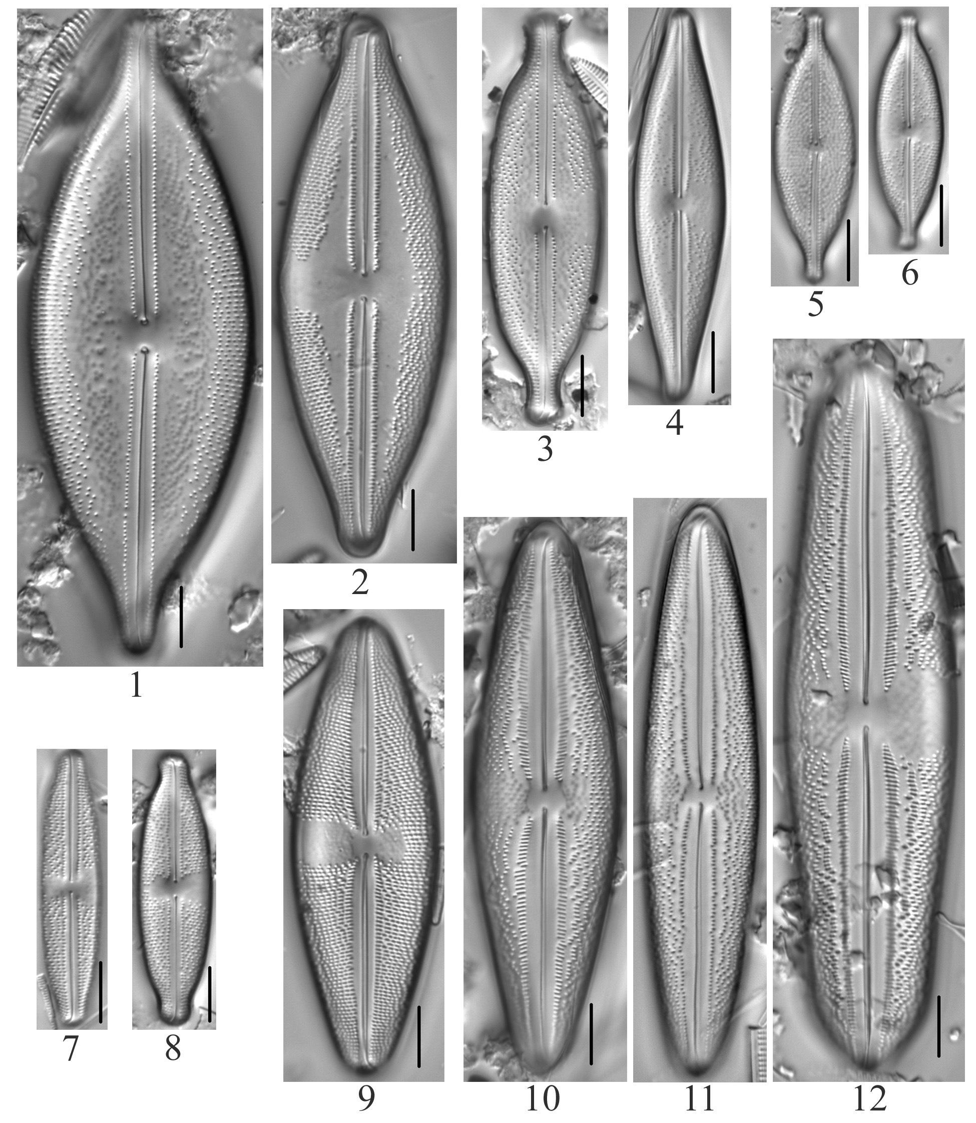Anomoeoneis Plate 1 Costata