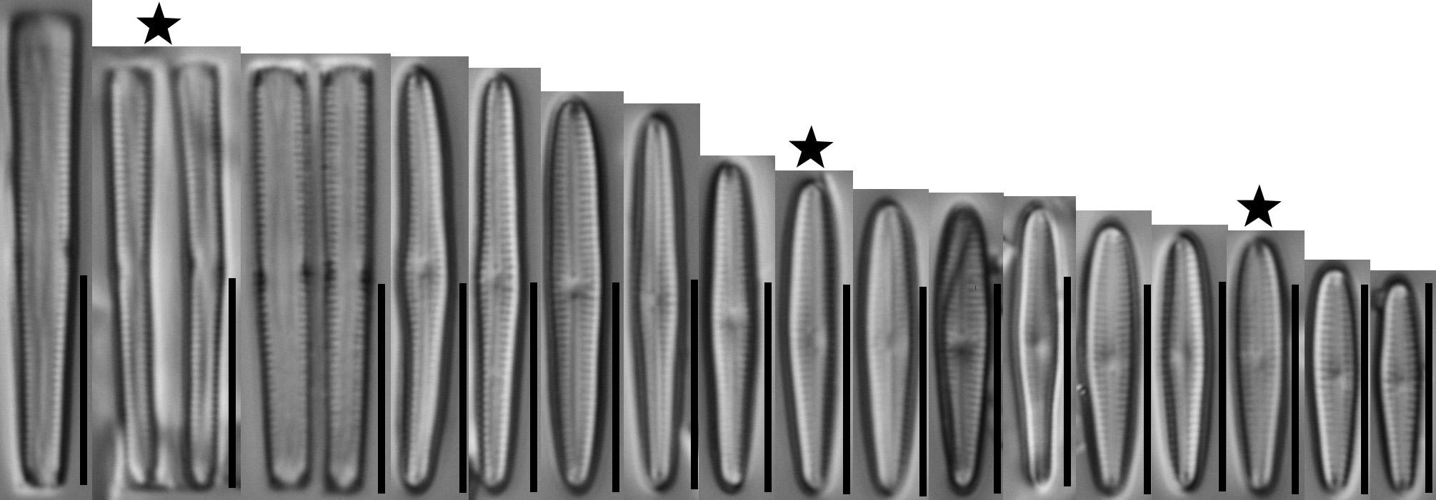 Gomphonema Tackei Var Brevistriata  Holotype  Range Stars In Circle  Gc53756