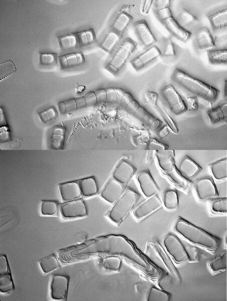 9   Melosira Dickiei Spores Isotype  Hlsmith 222