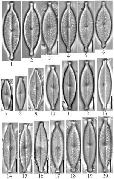 Anomoeoneis Capitata Monoensis