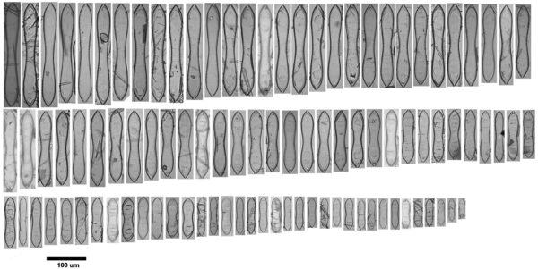 Cymatopleura 2014 Copy