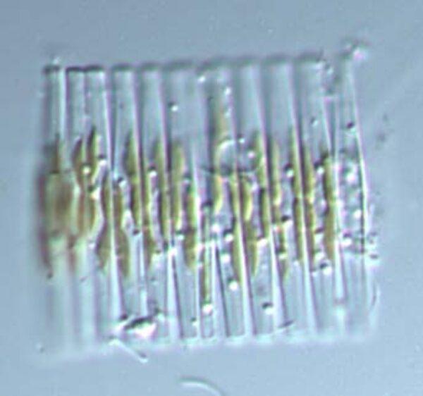 Fragilaria Crotonensis