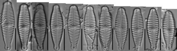 Gomphonema Olivaceoides Var Hutchinsoniana Diminution  Gc112789