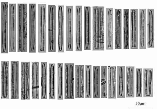 Nitzschia Serpentiraphe Autoecology