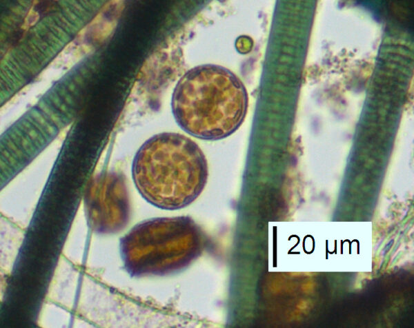 Thalassiosira lacustris live3