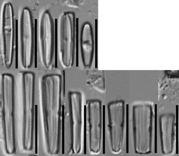 Wi  Gomphosphenia Stoermeri