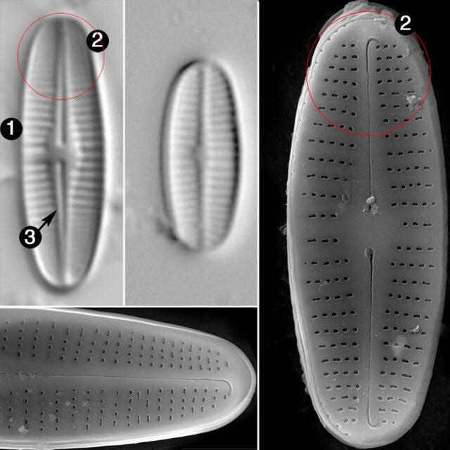 Achnanthidium Rivulare Guide