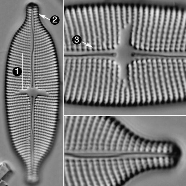 Aneumastus Pseudotuscula Guide