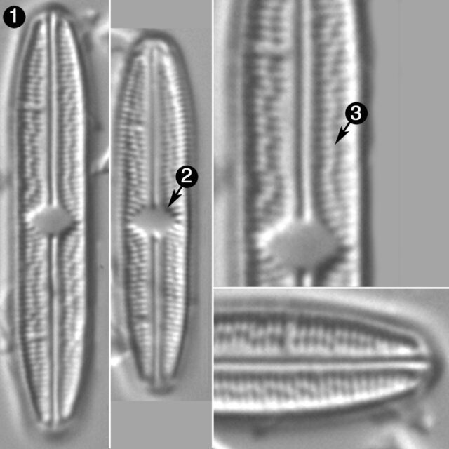 Brachysira Zellensis Guide