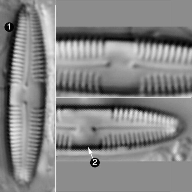 Caloneis Bacillum Guide