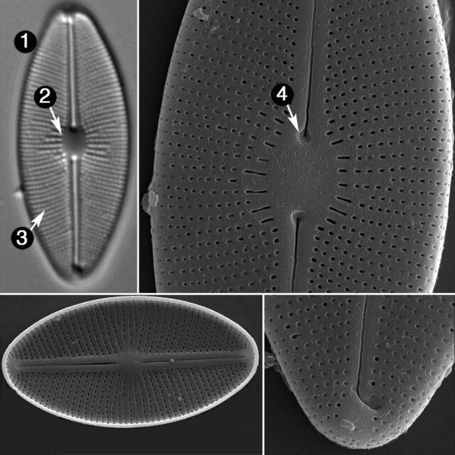 Cavinula Cocconeiformis Guide