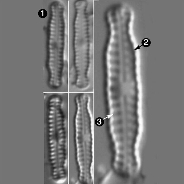 Chamaepinnularia Soehrensis Guide